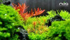 Details by NDA Lovely rotalas :) Diskus Aquarium, Planted Aquarium, Fish Tank Design, Hello To Myself, Aquatic Plants, Source Of Inspiration, Say Hello, Fresh Water, Aquascaping
