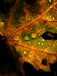 dew drops on an autumn leaf.