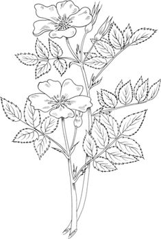 Rosa Blanda or Meadow Wild Rose or or Prairie Rose coloring page from Roses category. Select from 29062 printable crafts of cartoons, nature, animals, Bible and many more. Rose Coloring Pages, Free Adult Coloring Pages, Free Printable Coloring Pages, Embroidery Hearts, Drawing Sketches, Rose Drawings, Drawing Art, Colored Pencil Techniques, Fabric Painting