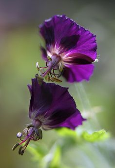 **Deepest Violet ~ Dusky Cranesbill / Brauner Storchschnabel (Geranium phaeum) by AnyMotion