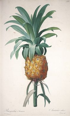 "Bromella ananas (Cultivated Pineapple).  Original watercolor on vellum by Pierre-Joseph Redouté, c. 1802. 14"" x 18 7/8""  At the beginning of the 19th century, Josephine Bonaparte commissioned Pierre-Joseph Redouté, the greatest botanical illustrator, to paint her unparalleled garden of botanical specimens gathered during the great voyages of discovery. He produced his greatest work, Les Liliacées: 486 watercolor masterpieces including this one."