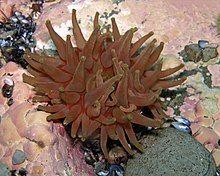 Red Anemone, Anemones, Marine Plants, Wild Kratts, Linnaeus, Save The Elephants, North Sea, Baltic Sea, Endangered Species