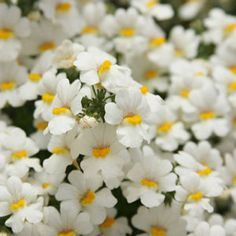 Buy Nemesia Sunsatia Coconut Annual Plants Online. Garden Crossings Online Garden Center offers a large selection of Nemesia Plants. Shop our Online Annual catalog today!