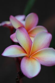 Plumeria Flowers are one of many beautiful Hawaiian Flowers.  Love Hawaii.  Visit the beautiful islands of Hawaii with  www.myfunlife2.com