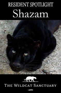 When 950 animals were being auctioned off after the Catskill Game Farm closed, animal rescue groups saved as many as possible. Shazam was one of the lucky ones. You can read many of the national articles written about our rescue efforts there and see a video at this link: http://www.wildcatsanctuary.org/residents/big-cats/leopards/shazam/