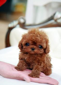 Baby Dream Teacup Poodle... Oh my goodness this thing is so cute not sure it would be off my lap long enough to know how to walk!