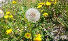 https://flic.kr/p/s3n6VV | #Giorni #caldi #di #primavera #instaflower #soffione :)
