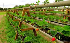 Simply Living: Strawberry season is here! Simply Living: Strawberry season is here! Strawberry Beds, Strawberry Planters, Strawberry Garden, Gutter Garden, Edible Garden, Vegetable Garden, Trough Planters, Flower Planters, Hydroponic Gardening