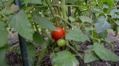 Die ersten Tomaten sind reif #UrbanGardening #Berlin Berlin, Urban Gardening, Vegetables, Food, Tomatoes, City Gardens, Veggies, Vegetable Recipes, Meals