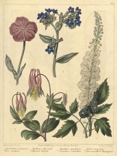 Drawings of medicinal plants including Actaea racemosa L.