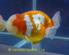 Aquarama 2009 - Ranchu Winning Entries