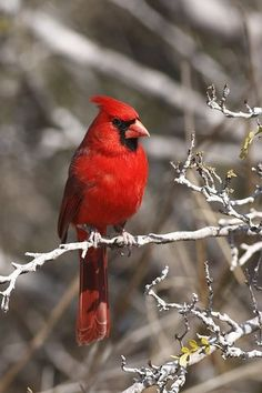 Miles Merwin uploaded this image to 'Cardinals Orioles Buntings'. See the album on Photobucket. Cardinal Pictures, Bird Pictures, Pretty Birds, Beautiful Birds, Red Bird Tattoos, Tattoo Bird, Parus Major, Northern Cardinal, State Birds