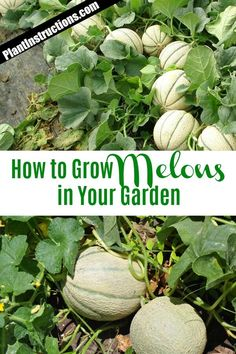 organic gardening for beginners Learning Growing Melons, Growing Vegetables, Honeydew Melon Growing, Growing Spinach, Organic Horticulture, Organic Gardening, Fruit Garden, Garden Plants, Gardens
