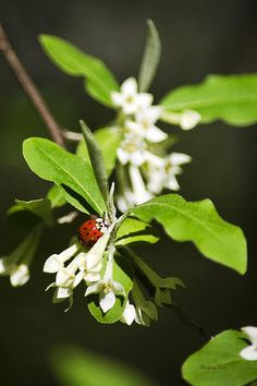 Ladybug On Russian Olive Flowers By Christina Rollo