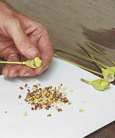 Since seeds do not ripen uniformly, collect them at various stages of maturity, noting the condition of the seeds as you gather.