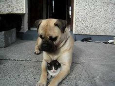 "bullmastiff - ""callie"" and her kitten"