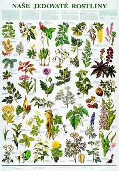 detail Naše jedovaté rostliny - nástěnná tabule ( 67x96 cm )