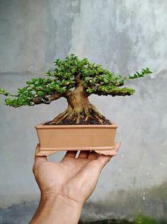 Mame Bonsai, All About Plants, Bonsai Styles, Bonsai Art, Terrarium, Greenery, Jade, Decorative Boxes, Gardening