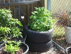 This is a great alternative to the traditional way of raising potatoes in rows and best for any confined space. Growing potatoes in tires is enexpensive, fun for the family,and best of all helps mother earth. .so do your part to help