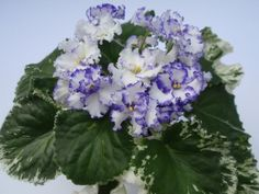 Ma's Arctic Sky    Селекционер: O. Robinson  Размер: Стандарт  Цветок: Белые махровые анютины глазки с вычурной, сильногофрированной синей каймой.   Розетка: Средне-зеленые волнистые листья.