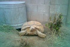 How To Build A Secure Sulcata Tortoise Habitat Tortoise House, Tortoise Food, Tortoise Habitat, Baby Tortoise, Sulcata Tortoise, Tortoise Care, Giant Tortoise, Tortoise Turtle, Tortoise Pictures