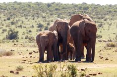 Protect the Baby Addo Elephant National Park is a diverse wildlife conservation park situated close to Port Elizabeth in South Africa and is one of the country's 19 national parks. Cool Picks, Port Elizabeth, Wildlife Conservation, South Africa, Road Trip, National Parks, Country, Elephants, Water