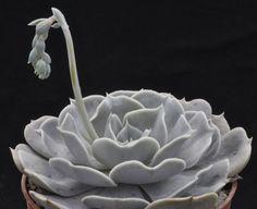 Echeveria 'Pollux', a lilacina Hybrid