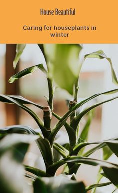 Winter can be a dangerous time for houseplants as most of them are dormant, so they can find it more difficult to deal with problems and changes in temperature. But a change of scene can help houseplants flourish in winter – treat your plants kindly and they'll stay lush and green all year long. From watering to cleaning, here's how to look after your indoor plants during winter. Eco Garden, Winter Treats, House Plant Care, Garden Styles, Houseplants, Compost, Container Gardening, Indoor Plants, Beautiful Homes
