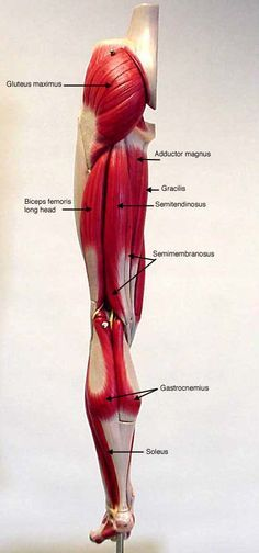 ... anatomy images <b>lower</b> extremity <b>label</b> <b>lower</b> append posteriorlabel jpg