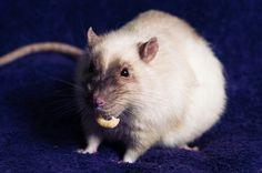 Rat-cheerios