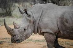 Every eight hours, a rhinoceros is slaughtered in South Africa. Rhino poaching in South Africa surged from 83 in 2008 to a record in 2014 to meet demands by newly-affluent Asian countries, where the horn is a key ingredient in traditional medicines. African Rhino, African Animals, African Safari, Rhino Poaching, Trophy Hunting, Close Up Photography, Photography Props, Wildlife Photography, Rhinoceros