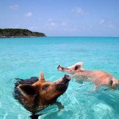 Swimming pigs, Bahamas