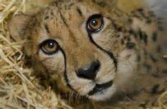 cheeta - Ecosia