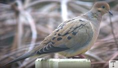 finally got a Dove shot this year. shot by Gavin Gillett