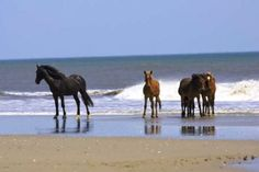 Currituck County - Outer Banks, NC - would love to see the Corolla Wild Horses :-)