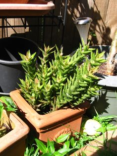 Zanzibar Aloe Vera - prickly as hell, but one of my favourite plants to use around the garden... as it's hardy and easy to care for.