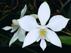 Virgin-orchid: Caularthron bicornutum