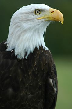 Bald Eagle, Haliacenturs Leucocephalus, North America, Habitat, the Bald Eagle is the national bird of the United States, its wing-span is usually thirty-six inches,, it catches its prey by swooping down and picking it up with its talons.