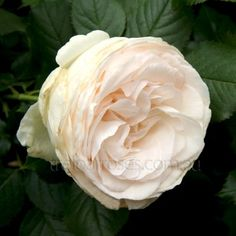 BLUSHING PIERRE DE RONSARD - A bright sport of the ever popular Pierre de Ronsard. The creamy white flowers are filled with petals and bloom constantly. They often retain a delicate soft pink hue in the cooler months. Amazing Flowers, Beautiful Roses, White Flowers, Red Roses, Blush Roses, Fresh Rose Petals, Rose Nursery, Moon Garden, Dream Garden