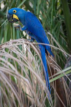 i love hyacinth macaws!!!