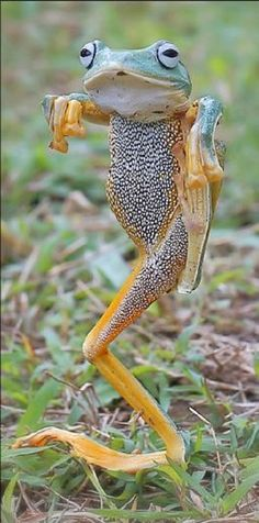 Fake frog pose, done by stringing the poor frog up with fishing line. Poor frog…