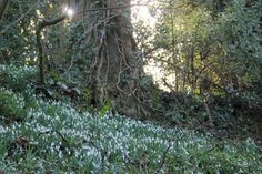 Snowdrops, not that we had any snow.   #Snowdrops#Spring#nature#photographers on tumblr#Dartmoor