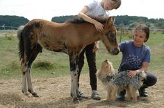 Isländerfohlen mit Hund