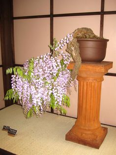 wisteria bonsai | Flickr - Photo Sharing!