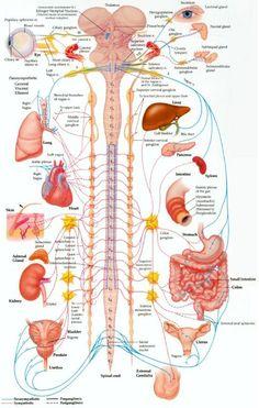 nervous-system.jpg (525×826)
