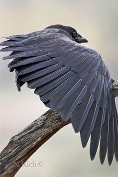 Raven - Le corbeau vit en groupe et est à la recherche des arbres les plus hauts. Il espère y trouver un refuge pour prévoir les meilleurs conditions de nidification. Il apprécie en particulier les platanes.
