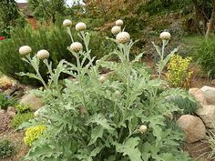 Centaurea 'Pulchra Major' - Strong, upright stems are topped with fluffy, ball like flowers (larger than a golf ball, smaller than a tennis ball). Grey leaves and big proud pink flowers open from amazing buds Jun-Jul, 60cm
