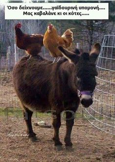 Not sure why chickens like to sit on the back of horses, or Donkeys in this case.our neighbor had chickens and they came here to stay. Farm Animals, Animals And Pets, Funny Animals, Cute Animals, Zebras, Beautiful Creatures, Animals Beautiful, Mini Donkey, Tier Fotos