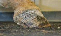 Find out how to recognize when a horse is at risk for developing Equine Metabolic Syndrome (EMS) related laminitis and what you can do to either prevent or manage it so that he stays sound. Horse Magazine, Veterinary Services, Horse Care Tips, Metabolic Syndrome, Infographic, Horses, Ems, Health Care, Hacks