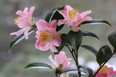 "Camellia x williamsii ""Cupcake"""